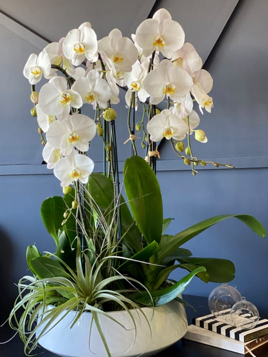 Large Orchids Plants Design in White Ceramic Pot