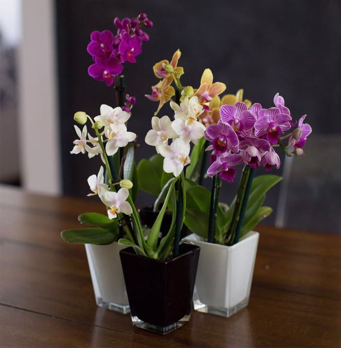Mini Phalaenopsis Set